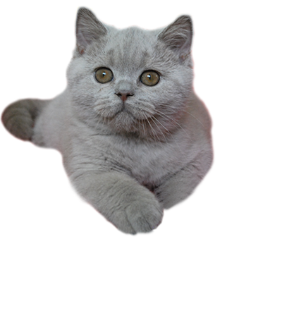 Koty Brytyjskie Bonawentura